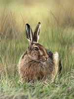 Brown Hare Fine Art Print