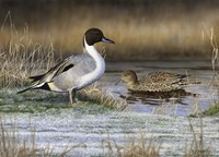 Pintail Ducks Fine Art Print