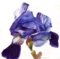 Blue Iris Fine Art Print