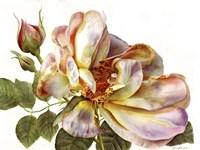 Rose Clair On White Background Fine Art Print