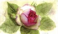 Eden Rose Open Bud Fine Art Print