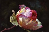 Open Pink Rose Bud Fine Art Print