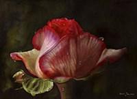 Red Rose Bud Fine Art Print