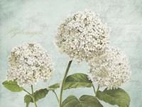 Hydrangeas I (Aqua) Fine Art Print