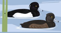 Tufted Duck Id Fine Art Print