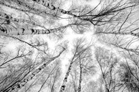 Through The Birch Trees Fine Art Print