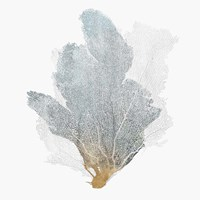 Delicate Coral II Fine Art Print