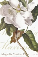 Magnolia Maxime Fine Art Print