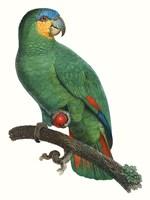 Parrot of the Tropics I Fine Art Print