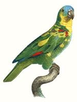 Parrot of the Tropics II Fine Art Print