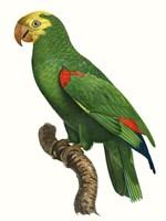 Parrot of the Tropics III Fine Art Print