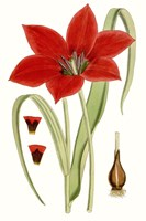 Curtis Tulips IV Fine Art Print