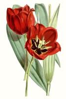 Curtis Tulips V Fine Art Print