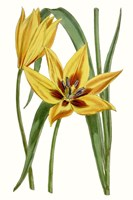 Curtis Tulips VI Fine Art Print