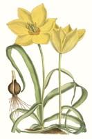 Curtis Tulips VIII Fine Art Print