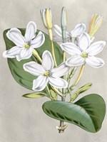 Alabaster Blooms II Fine Art Print