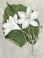 Alabaster Blooms III Framed Print
