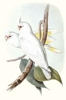 Pastel Parrots II Fine Art Print