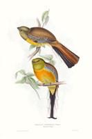 Tropical Trogons VI Fine Art Print