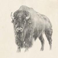 Western Bison Study Fine Art Print