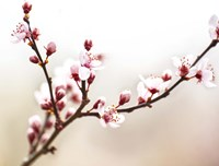 Cherry Blossom Study I Fine Art Print