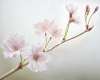 Cherry Blossom Study II Framed Print