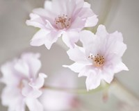 Cherry Blossom Study III Framed Print