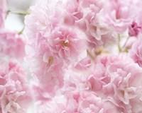 Cherry Blossom Study IV Fine Art Print