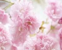 Cherry Blossom Study V Fine Art Print
