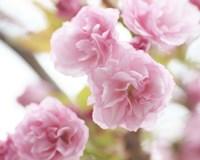 Cherry Blossom Study VI Fine Art Print
