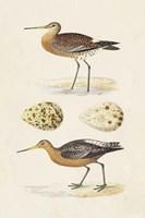 Sandpipers & Eggs IV Framed Print