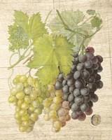 Grapevine I Framed Print