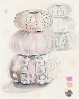 Sea Urchin Sketches II Framed Print