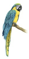 Teal Macaw I Framed Print