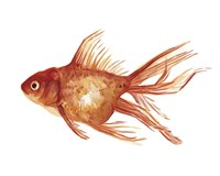 Ornamental Goldfish I Fine Art Print