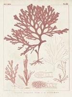 Antique Coral Seaweed II Framed Print