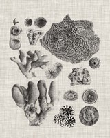 Coral Specimen II Fine Art Print