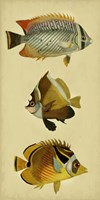 Trio of Tropical Fish II Framed Print