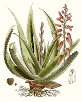 Antique Aloe I Fine Art Print