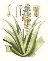 Antique Aloe II Fine Art Print