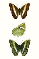 Butterfly Specimen III Fine Art Print