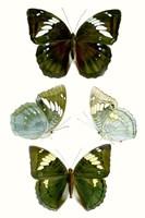 Butterfly Specimen IV Fine Art Print