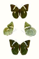 Butterfly Specimen V Fine Art Print