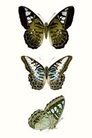 Butterfly Specimen VI Framed Print