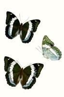 Butterfly Specimen VIII Fine Art Print