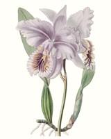 Lavender Beauties II Fine Art Print