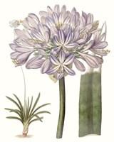Lavender Beauties VI Fine Art Print
