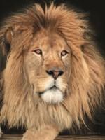 King of the Jungle Fine Art Print