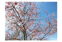 Blossom Pink Trees Fine Art Print