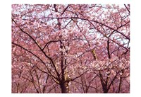 Blossom Pink Trees 2 Fine Art Print